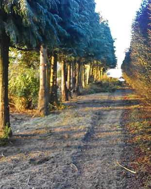 Row of trees along a path