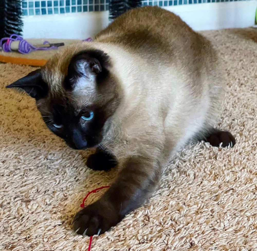 Siamese Cat Playing with String, Against Declawing
