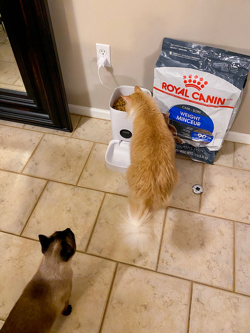 Maine Coon Voting for Lid off Feeder Approach