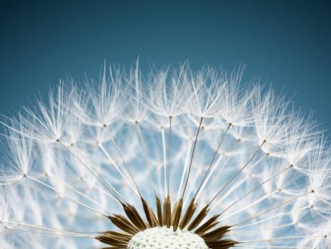 close-up of dandelion seeds
