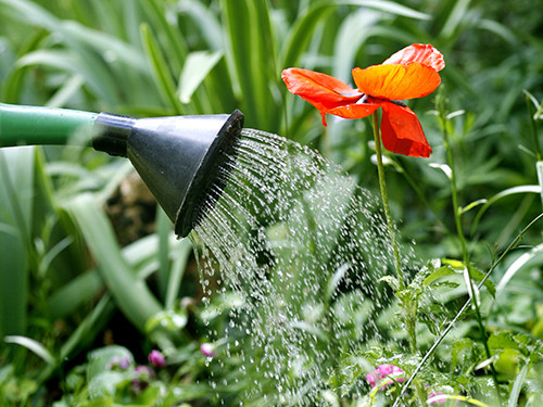 a watering can sprinkles water onto a poppy in a garden