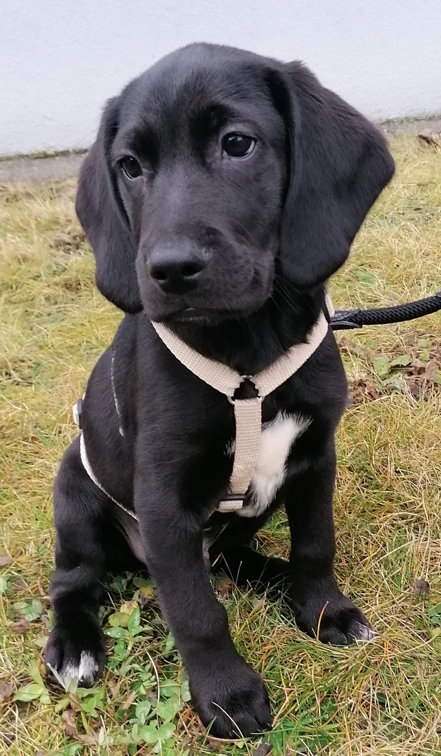 Beagle/Labrador Mix