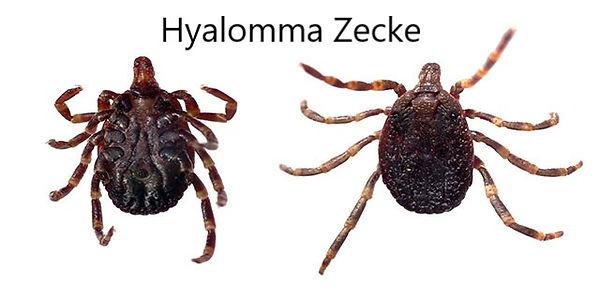 Hyalomma Zecke.jpg