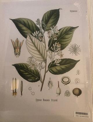 Cuadro botanico 4