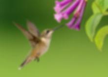 hummingbird, hummingbird attracting plants