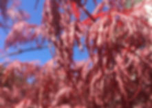 Japanese Maple, fall foliage, maple in the fall, urban tree planting, trees for small spaces