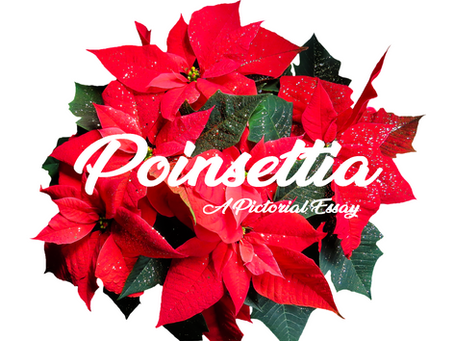 Poinsettia - A Pictorial Essay
