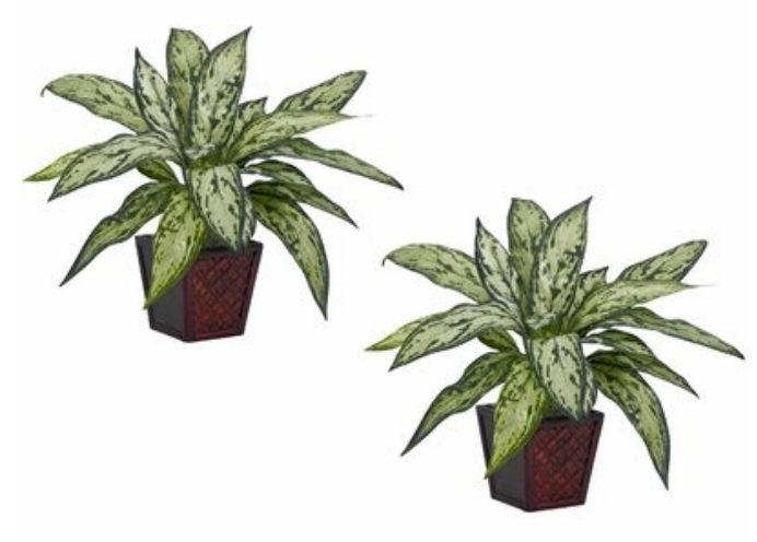 Silver Queen in planter