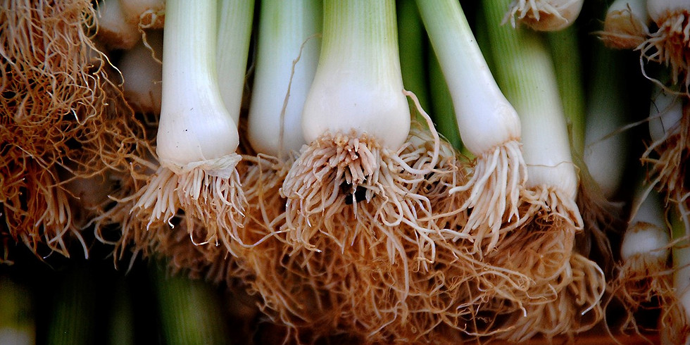 Ramp/Wild Leek Foraging and Forest Farming: Ramp Culture