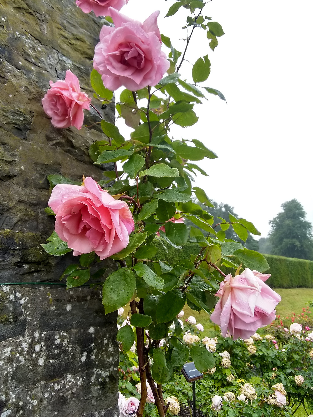 pink roses climbing a wall, wet from rain