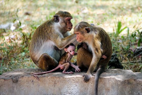 Sri Lankan monkey family 2018