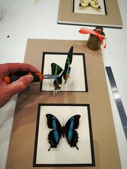 Fixation des papillons sur leur fond