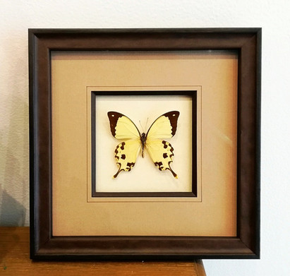 Papillons blanc