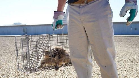 raccoon-minnesota-rescued.jpg