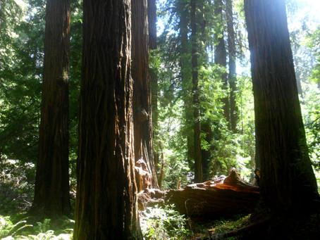 Muir Woods - Terra das Sequóias Gigantes