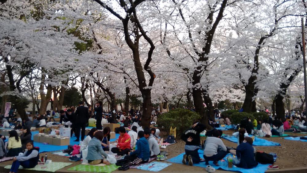 Florada das Cerejeiras e os Picnics nos Parques do Japão
