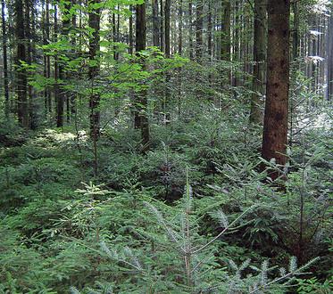 Waldpaten
