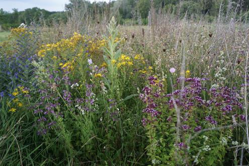 Wildblumenwiese / Wegsaum