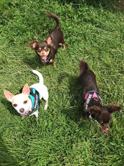 Small Dog Walking Services