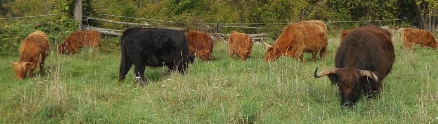 Cattle Grazing-web.jpg