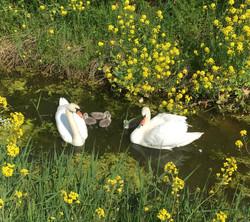 Swans spotted on a Coastal Walk