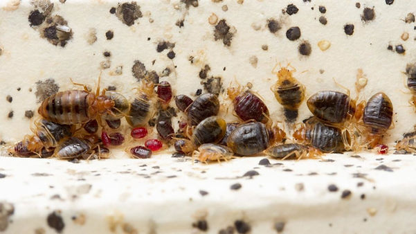 Bed bug infestation in Cleveland, Chattanooga TN.