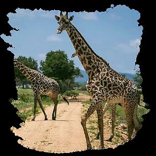 Mikumi Safari Lodge Web-01.png