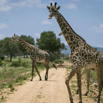 Utulivu Experiences_Mikumi Safari.png
