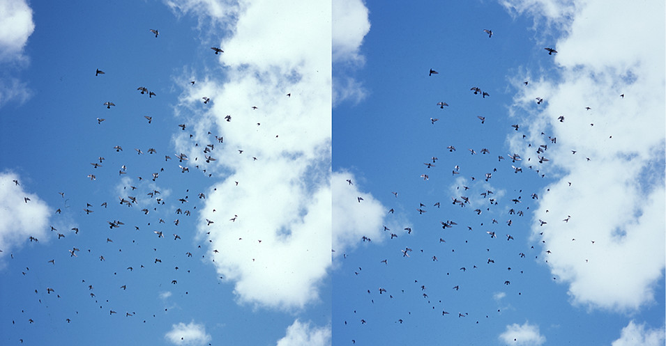 012_Z_PIGEONS BIRDS FLYING_SBS.jpg