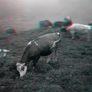 S042_04_Z_COW TAIL SWITZERLAND SUMMER 20