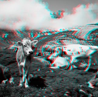 S027_01_Z_COW PILE BABY COW SWITZERLAND