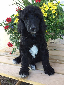 sweet poodle puppy available