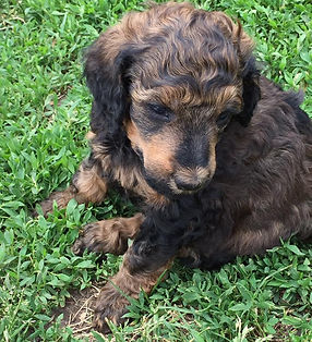 poodle color sable red phantom