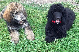 Standard Poodles Puppies