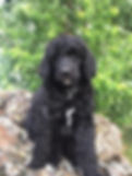 black abstract poodle puppy
