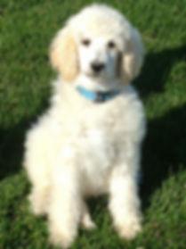 Poodle with phantom genes