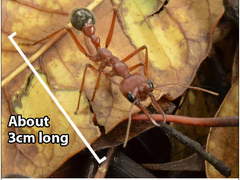 Our rainforest garden:  A giant amongst ants