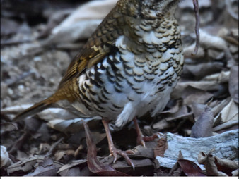 Eungella NP: A thrush is a thrush - but is it Bassian or Russet-tailed?