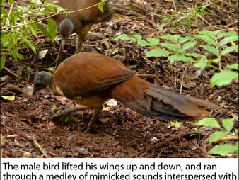 Lamington NP: Albert's Lyrebird