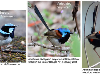 Koreelah NP: Sorting out the fairy-wrens. Part 1, Distinguishing features