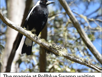 Wildlife Matters: Those wretched magpies