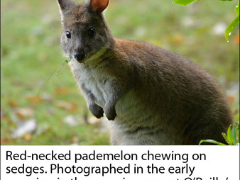Lamington NP:  A tale of two pademelons