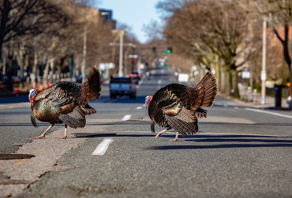 Turkeys Without Masks(stoklephotography)