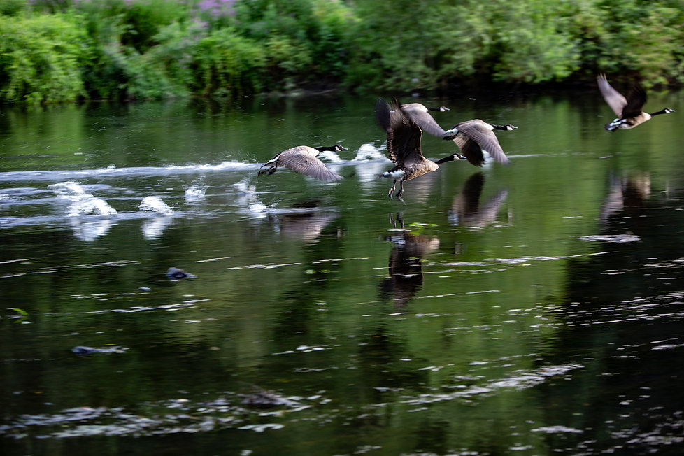 _BB_0853 Geese Taking Off copy.jpg