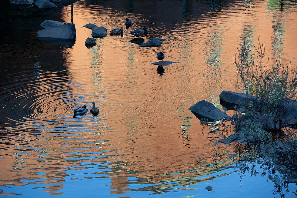 Mating Ducks stoklephotography.jpg