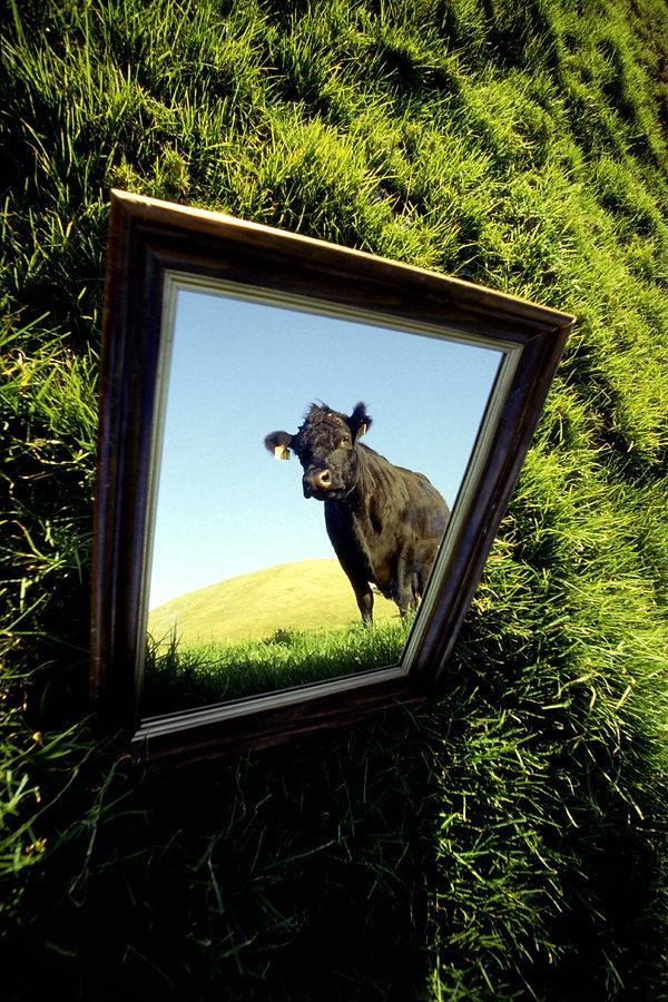 Vain Cow web.jpg