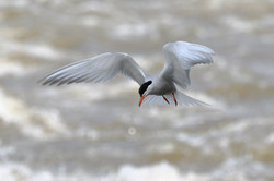 tern-photography-tours-south-lapland