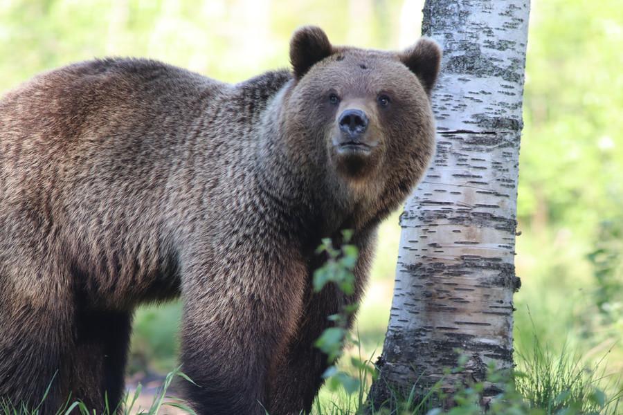 Bear wtching near Russian border