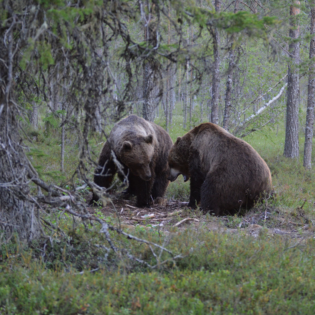 Brown bears on South Lapland Wildlife & Culture tour