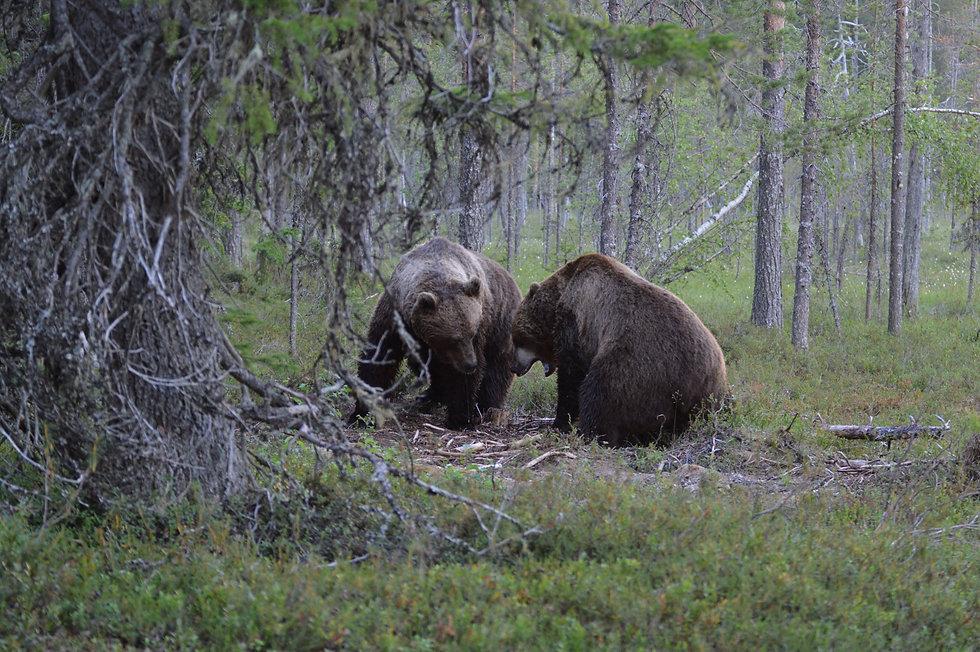 Brown bears, Hikes'n Trails